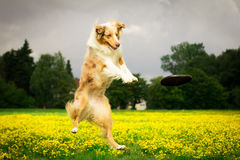 Jumping Dog. Playing frisbee Stock Photo