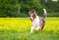 Playing Dog Stock Photography