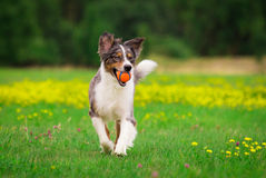 Playing Dog Royalty Free Stock Images