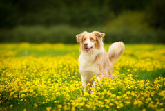 Dog Portrait. Australian Shepherd - Border Collie Dog Royalty Free Stock Images