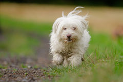 Running Dog Royalty Free Stock Images