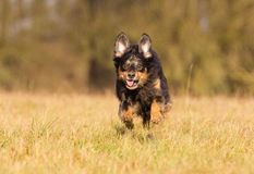 Running Dog Stock Photo