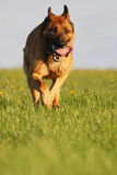 Dog in action Stock Photos