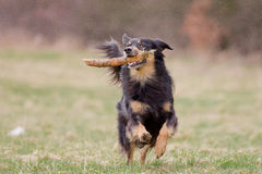Playing Dog. A dog runs full of joy with a stick over the meadow Royalty Free Stock Photos