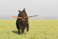 Playing Dog. A dog runs through a meadow full of fun Stock Image