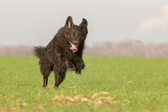 Running Dog. A dog runs through a meadow full of fun Stock Photography