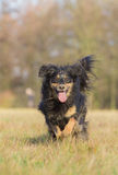 Running Dog. A dog runs through a meadow full of joy Royalty Free Stock Photos