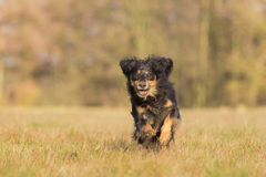 Running Dog. A dog runs through a meadow full of joy Royalty Free Stock Images