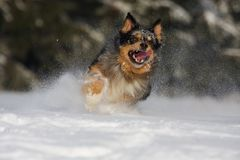 Dog action in the snow Royalty Free Stock Photos