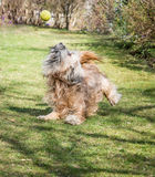 Dog Action. Tibetan terrier dog catching a ball Stock Photo