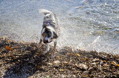 Dog in action to shake the water off after a bath-play. In the lake royalty free stock photos