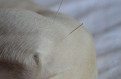 Dog Acupuncture. Acupuncture treatment of white dog. Hip area Stock Photography
