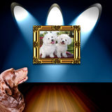 Dog admiring dog photo. A view of a Chocolate Labrador dog admiring a photo of two cute white Bichon Frise dogs framed under spotlights royalty free stock photo