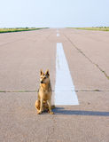 Dog on an aerodrome Stock Image