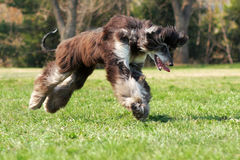 Dog Afghan Hound Stock Image