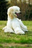 Dog Afghan Hound Royalty Free Stock Photos