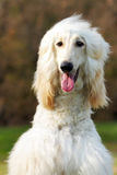 Dog Afghan Hound Royalty Free Stock Photos
