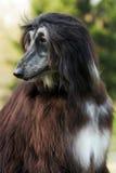 Dog Afghan Hound Stock Images