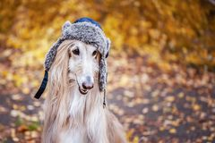 Dog, Afghan hound in a funny fur hat,. Against the background of the autumn forest. Concept clothes for animals, fashion for dogs royalty free stock photography