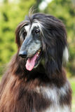 Dog Afghan Hound Royalty Free Stock Image