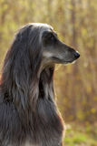 Dog Afghan Hound in profile Stock Images