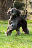 Dog Afghan Hound runs Royalty Free Stock Photos