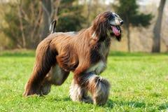 Dog Afghan Hound runs Stock Image