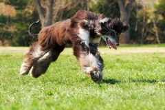 Dog Afghan hound to jump Stock Photography