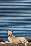 Dog Against Blue Shutter stock images