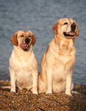 Dog against the sea. Two Labradors on seacoast. A licking lips dog against the sea Stock Photography