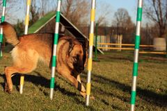 Dog in agility Stock Image