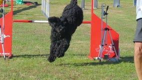 Dog agility stock footage