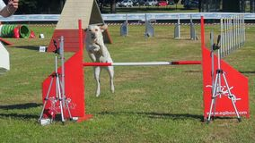Dog agility stock video footage