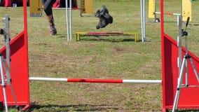 Dog agility stock video
