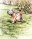 Dog Agility. Agile running tibetan terrier dog in the garden Royalty Free Stock Photos
