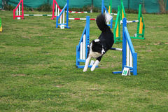 Dog agility Royalty Free Stock Images