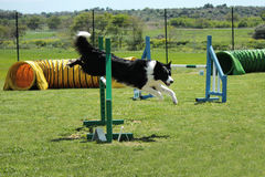 Dog agility. Border collie that jump an obstacle of dog agility stock photos