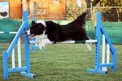 Dog agility Royalty Free Stock Image