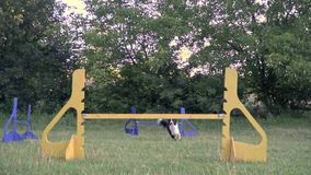 Dog agility, border collie jumps over barriers under the supervision of a girl handler, slow motion shooting stock footage