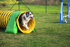 Dog agility. A border collie in an obstacle Royalty Free Stock Images