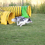 Dog agility Stock Photo