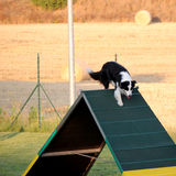 Dog agility. Border colllie on the obstacle of dog agility Royalty Free Stock Photography