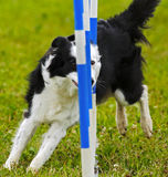 Dog Agility Canadian Championships Stock Images
