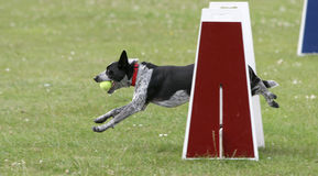 Dog agility competition Royalty Free Stock Photo