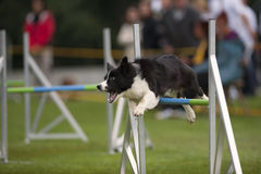 Dog agility competition Stock Images