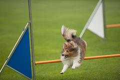 Dog on agility competition stock image