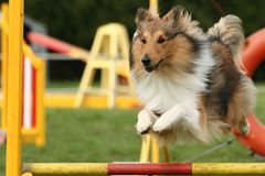 Dog in agility competition jumping over obstacle Royalty Free Stock Photo