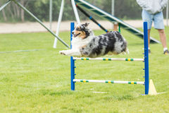 Dog in an agility competition. Set up in a green grassy park royalty free stock photo
