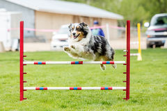 Dog in an agility competition. Set up in a green grassy park stock photos