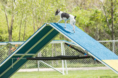 Dog in an agility competition Stock Photography
